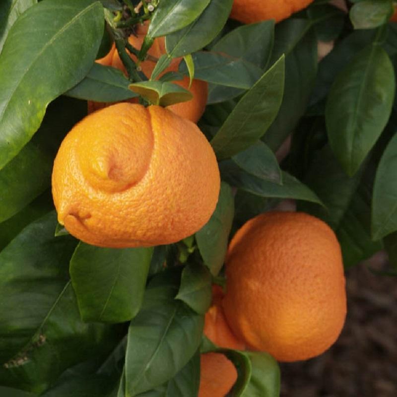 citrus aurantium corniculata