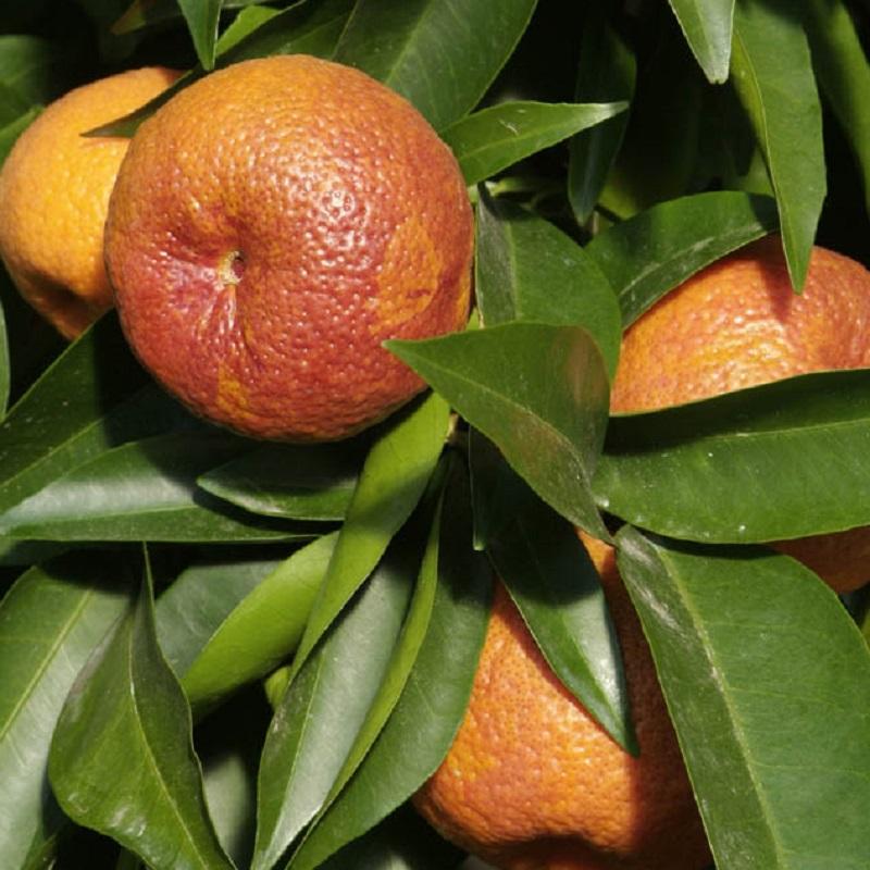 citrus clementina rubino