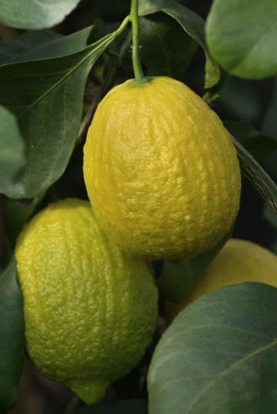 citrus limon canaliculata
