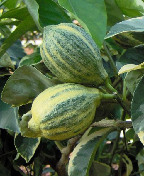 citrus limon foliis variegatis