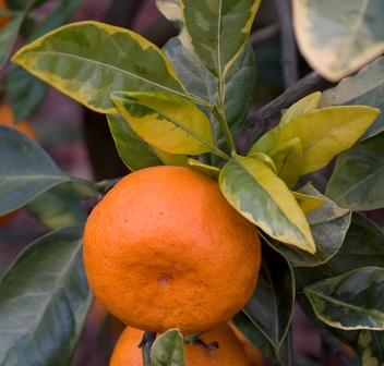 citrus unshiu foliis variegatis